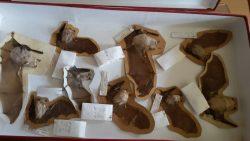 Большой подковонос (Rhinolophus ferrumequinum)